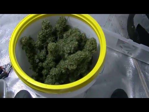 Drying Organic Cannabis