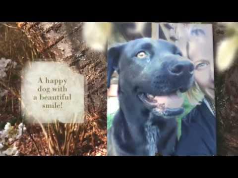 Black Labrador Retriever Mix For Adoption Knoxville Tennessee TN