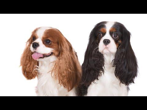 """Собаки и люди: """"Кавалер-Кинг-Чарльз-Спаниель"""""""