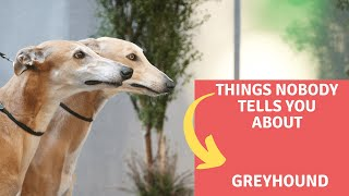 Dogs: Greyhound Dog Breed Information And Personality