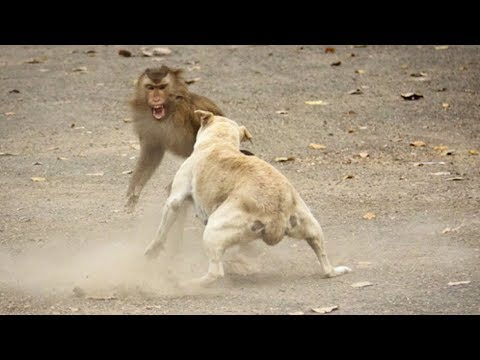 Paling Lucu !! Monyet Vs Anjing & Kucing !!