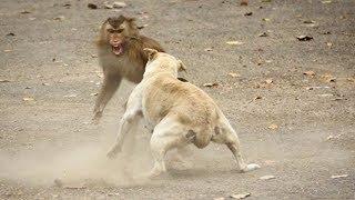 paling lucu monyet vs anjing kucing