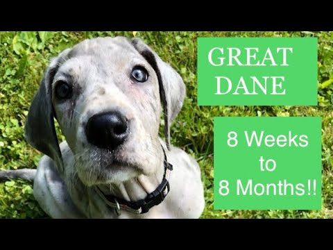 Great Dane 8 Weeks to 8 Months