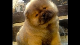 Chow Chow, Puppies, For, Sale, In, Hartford, Connecticut, County, CT, Fairfield, Litchfield, Middles