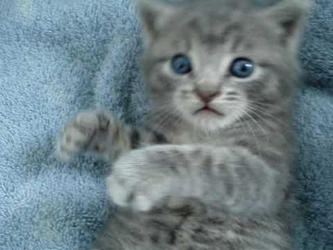 blue eyes kitten, cute and playful