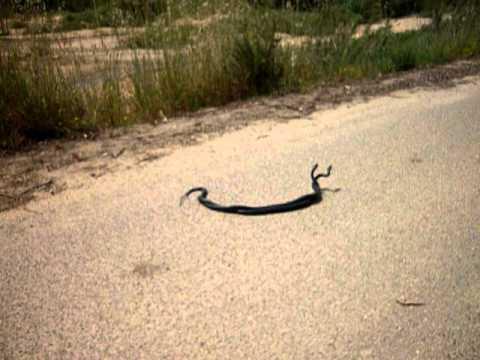 nero serpente sesso