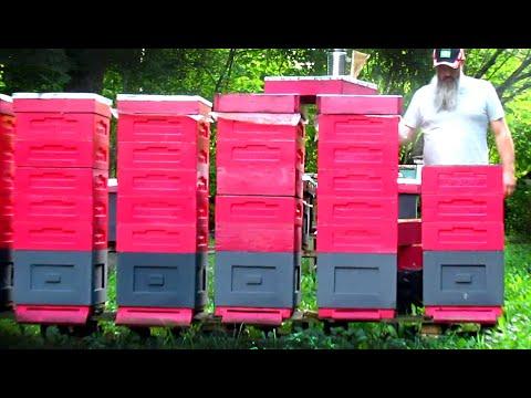Золотой мёд пчелы  Buckfast VIV 8