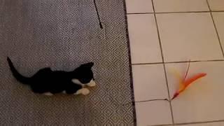 Kylo The Tuxedo kitten chasing feather toy