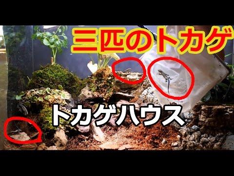 三匹のトカゲ新居に引っ越し!【自然を再現した水槽】 New house of three lizards