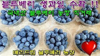 국내산 생 블루베리 수확, 농장 직거래판매