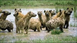 Gray Wolf vs Spotted Hyena