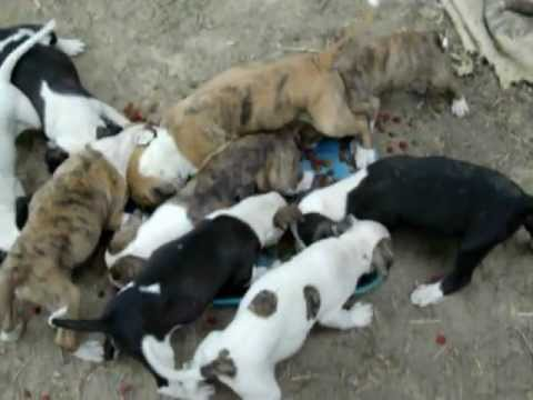 9 Pit Bull Puppies For Sale