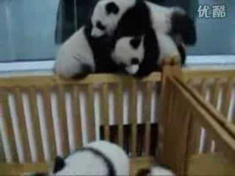 Baby panda fighting - YouTube