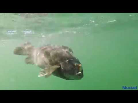 How To Catch Tautog With Hermit Crabs