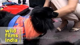 Black Pomeranian Dress Up For A Mass Dogs Gathering