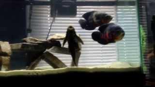 75 Gallon Fish Tank With Oscars