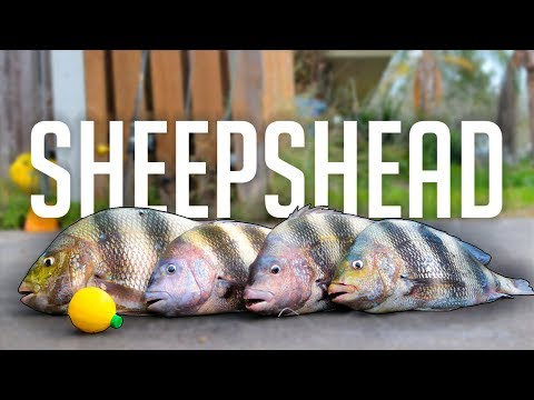 how to catch fish faster than everyone next to you - sheepshead