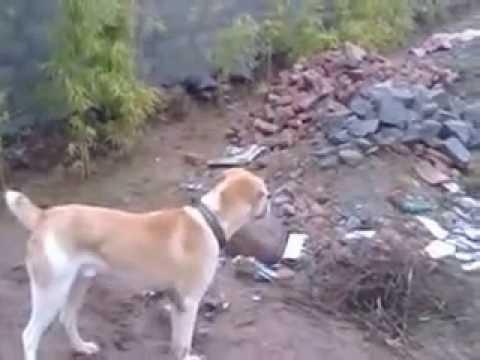 Orignal Afghan Koochee in Islamabad 13 months old dog