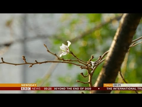 Extreme weather 2018 - Unusual phenomenon cherry blossoms (Japan) - BBC News - 19th October 2018