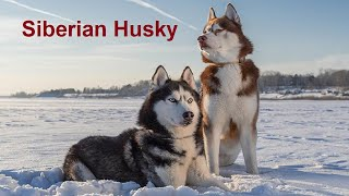 Top 10 Best Dog Breeds In The World   Siberian Husky Dog   Best Dog Breeds In The World  
