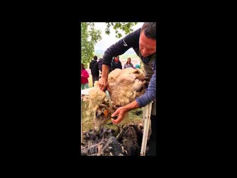 Tonte traditionnelle des moutons en corse festival for Tonte