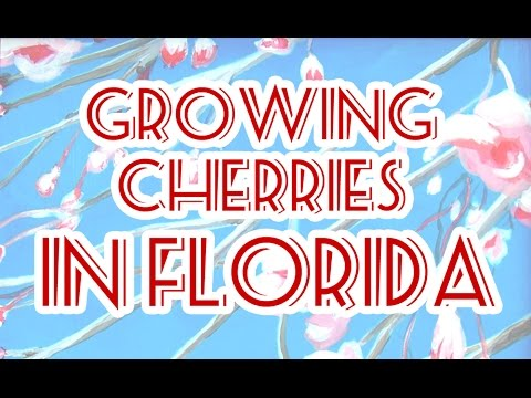 Growing Cherries In Florida