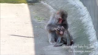 """Showmal and baby boy, Feet the Japanese macaque """"Little mother"""" / ニホンザルのショウマルとフィート「ちいさなおかあさん」@上野動物園"""