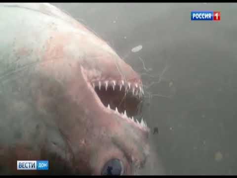 Акула в донском водоеме - выдумка рыбаков или настоящий улов - мнение эксперта