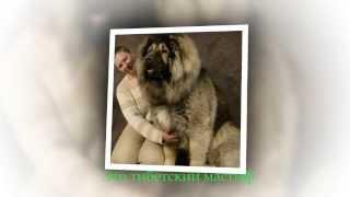 Самые большие собаки в мире ТОП -- 15