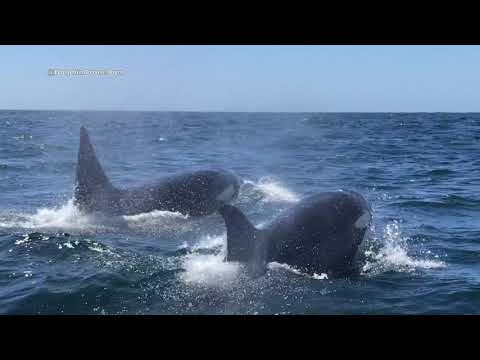 Eastern Tropical Pacific Orcas with Newport Coastal Adventure!