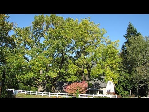 One of the Largest Remaining American Chestnut Trees in North America
