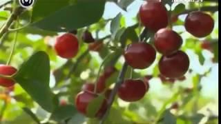 видео Описание сортов вишни