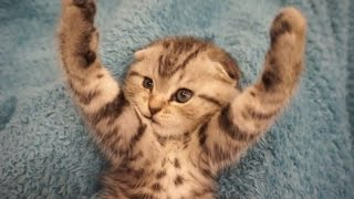 Прикол с котенком ♥ Скоттиш фолд ♥ Аэробика, зарядка ♥ Scottish Fold