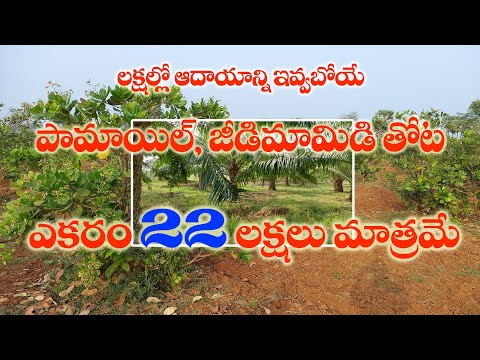 12 Acres Palm Oil & Cashew-nut Garden For Sale in East Godavari | Just 22 Lakhs Per Acre |