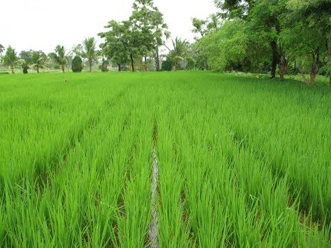 Ecological Engineering practices for Paddy Cultivation