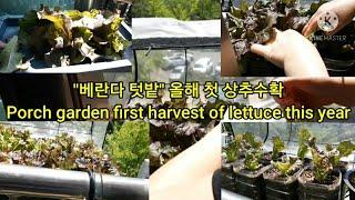 베란다텃밭 ''상추'' 올해 첫수확 Porch gard…