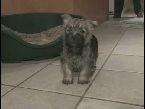 Cairn Terrier Puppies Play In The Kitchen - Cabaretcairns.com