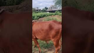 100%Gir cow for sale MAAHI Dai…