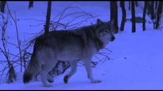 Wolves of Omega Park