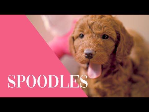 Spoodle Puppies  Australia
