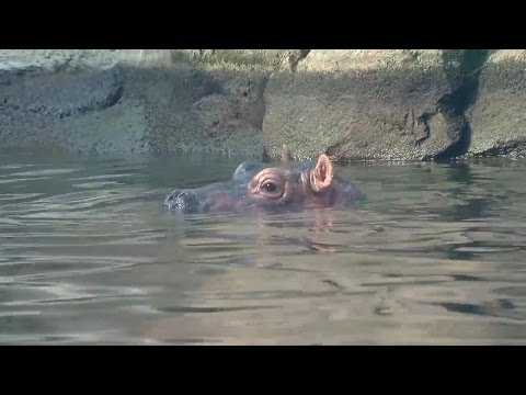 Baby hippo Fiona explores her outdoor habitat and pool at the Cincinnati Zoo