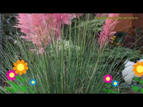 Кортадерия селло Розеа. Краткий обзор, описание характеристик, где купить cortaderia selloana Rosea