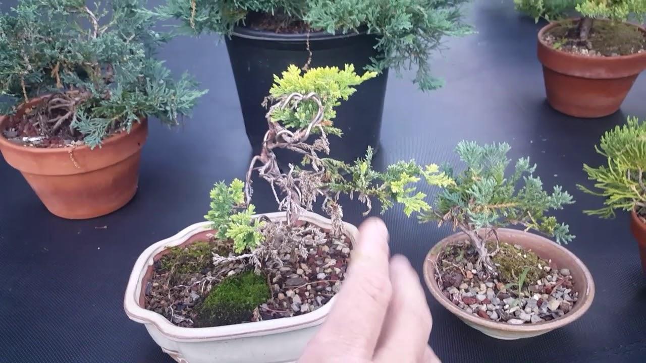 2018 Bass N Bonsai Different Juniper Tree Species Youtube