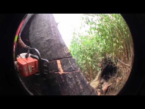 Large Tree Felling Marysville