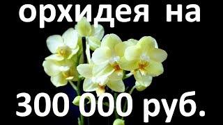 Эта ОРХИДЕЯ Amadeus стоила мне 300 тысяч рублей