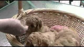 Joystar Apricot Miniature Poodle Puppies 5 Weeks