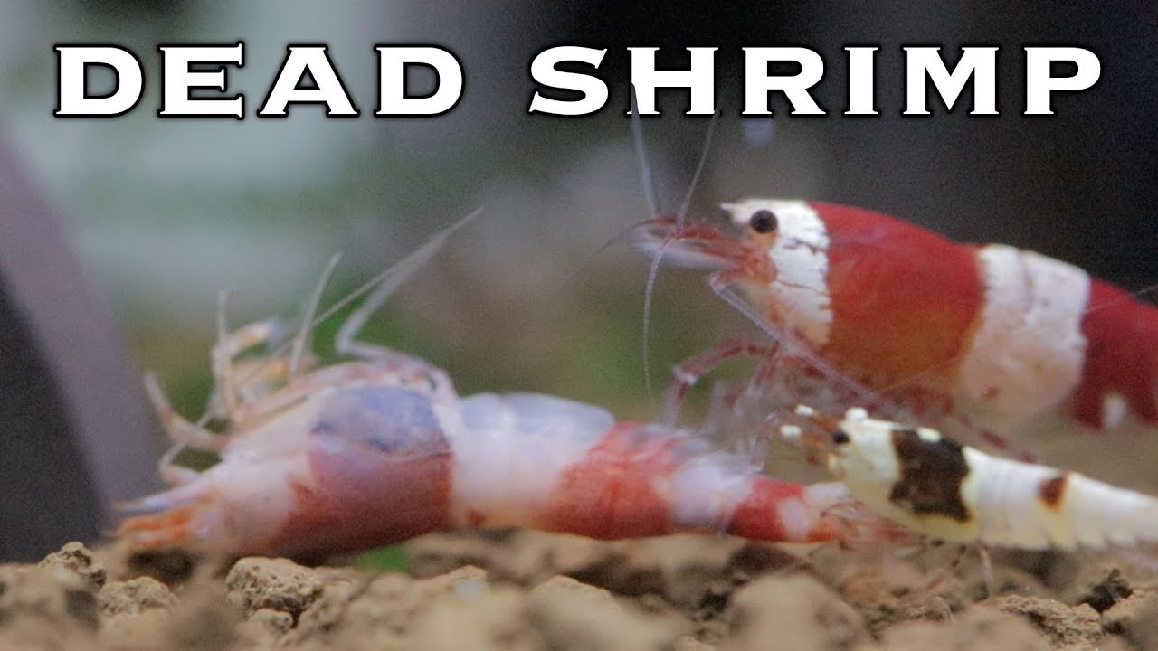 Why Are My Shrimp Dying Youtube