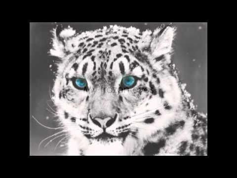 Shearwater - The Snow Leopard  [ lyrics ]