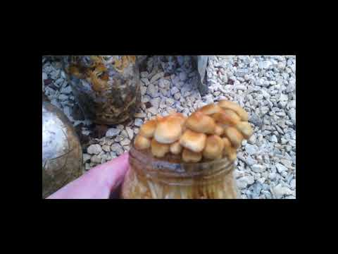 выращивание грибов в опилках в домашних условиях