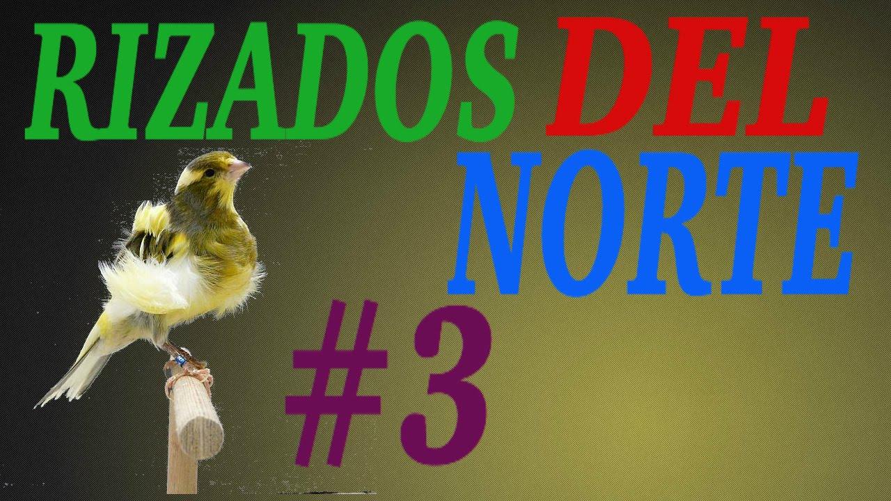 Cria De Canarios Rizados Del Norte 3